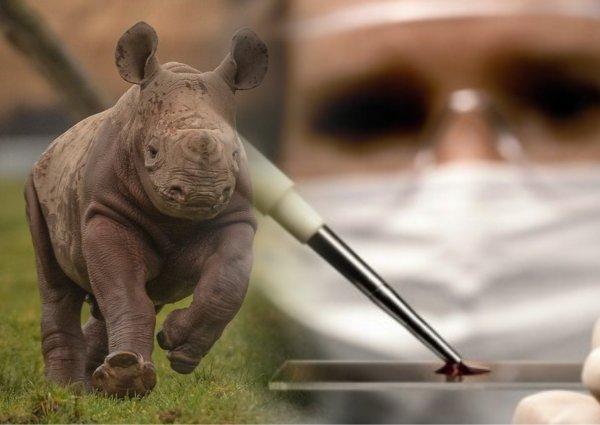 Детёныш носорога из пробирки спасёт вымерший вид - учёные