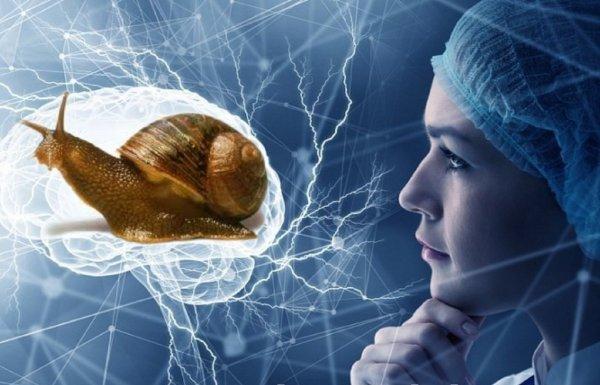 Порхай как бабочка, думай как улитка: Моллюски помогли раскрыть секрет памяти